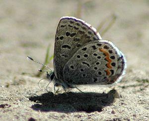 Smith's blue butterfly - Euphilotes enoptes, Dutchman's Peak, Oregon