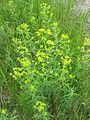 Euphorbia esula 2-eheep (5097892414).jpg