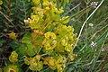 Euphorbia polychroma, Euphorbiaceae 01.jpg