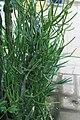 Euphorbia tirucalli 12zz.jpg