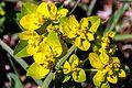Euphorbia verrucosa - Warzen-Wolfsmilch.jpg