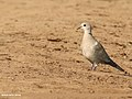 Eurasian Collared Dove (Streptopelia decaocto) (30540358741).jpg