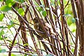 Eurasian wren (27770334119).jpg