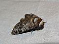 European Goat Moth (Cossus cossus) (8332199217).jpg