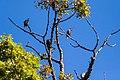 European starling (30108289562).jpg