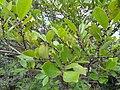 Eurya japonica - Miyajima Natural Botanical Garden - DSC02318.JPG