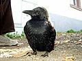 FL-Crow.jpg