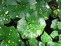 Farfugium japonicum 'Aureo-Maculate' 02.jpg