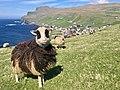 Faroe sheep Sumba.jpg