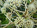Fatsia japonica.007 - Zapateira.jpg