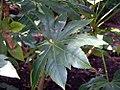 Fatsia japonica 1zz.jpg