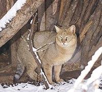 Felis-chaus-Sofia-Zoo-20120125-cropped.jpg