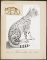 Felis ornata - 1700-1880 - Print - Iconographia Zoologica - Special Collections University of Amsterdam - UBA01 IZ22100356.tif