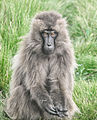Female, Gelada Baboon, Ethiopia (7155803156).jpg