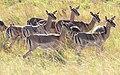 Female Impala (2874338033).jpg