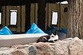Feral cat in Dahab 2020-03-11.jpg