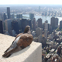 Feral pigeon -Empire State Building, New York City, USA-31Aug2008.jpg