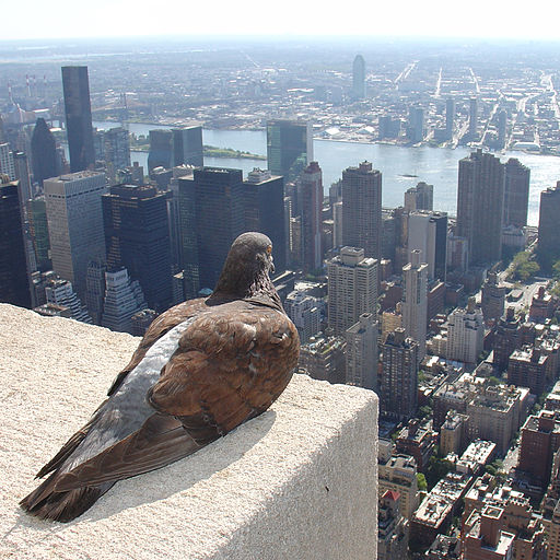 Feral pigeon -Empire State Building, New York City, USA-31Aug2008