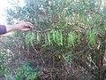 Fesols moros (Anagyris foetida) de Canèssia Lorcha (Vall de Perputxent).jpg