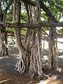 Ficus benghalensis aerial roots.jpg