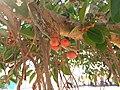 Ficus benghalensis near Thanjavur Railway Junction IMG 20180512 155152454.jpg