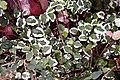 Ficus pumila Variegata 2zz.jpg