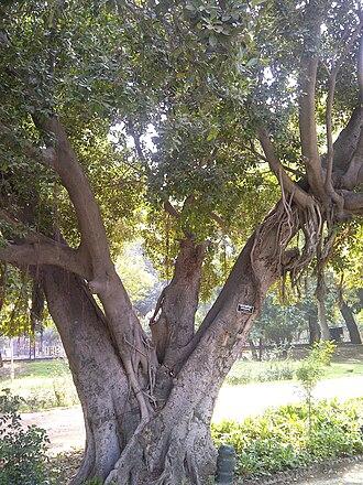 Moraceae - Ficus retusa (Moraceae) in Bagh-e-Jinnah, Lahore