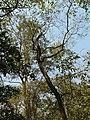 Ficus sp. (2252405717).jpg