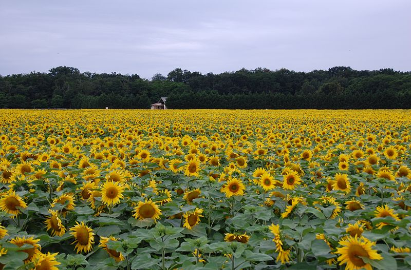 File:Field of sunflowers.JPG