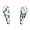 Fifth metatarsal bone04 inferior view.png