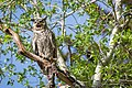 File-Great horned owl;-Neal Herbert;-5-28-2014;-Catalog 19394d;-Original 0316 (b57fc994-a6f2-4716-8c08-5e16a28b5d89).jpg