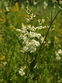 Filipendula ulmaria (flower spike)