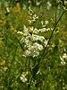 Filipendula ulmaria (flower spike).jpg