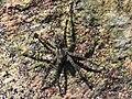 Fishing Spider, Dolomedes tenebrosus.jpg
