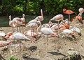 Flamingo (Phoenicopterus roseus), Tierpark Hellabrunn, Múnich, Alemania, 2012-06-17, DD 03.JPG