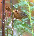 Flickr - Dario Sanches - TIÊ-PRETO fêmea (Tachyphonus coronatus) (1).jpg