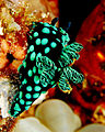 Flickr - JennyHuang - nudibranch (the jewels of the sea).jpg
