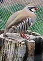 Flickr - Oregon Department of Fish & Wildlife - 2178 captive chuckar munsel odfw.jpg