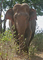 Flickr - Rainbirder - Asian Elephant (Elephas maximus maximus).jpg