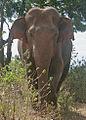 Flickr - Rainbirder - Asian Elephant (Elephas maximus maximus).jpg