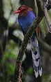 Flickr - Rainbirder - Ceylon Blue Magpie (Urocissa ornata).jpg