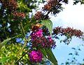Flickr - ronsaunders47 - BUTTERFLY BEAUTY 2.jpg