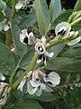 Flor de Vicia faba (haba).jpg