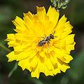 Flor e insecto en Valverde. Vilarromarís. Oroso-x2.jpg