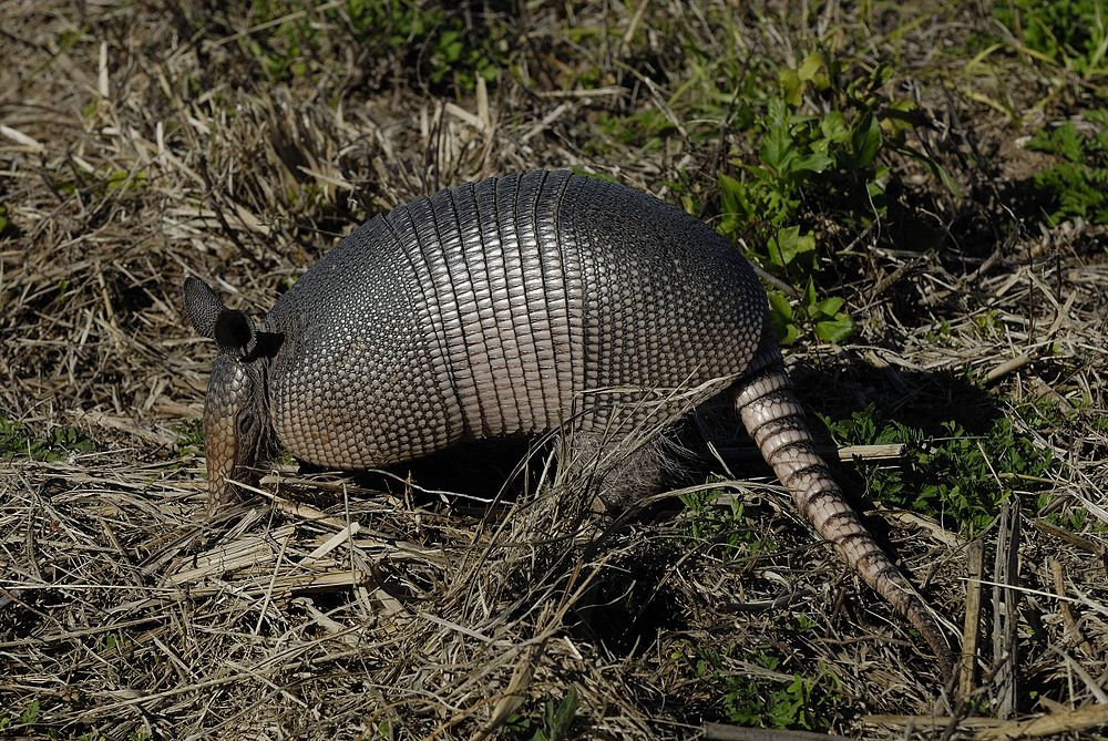 The average litter size of a Nine-banded armadillo is 3