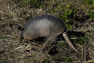 Nine-banded armadillo The only living armadillo in the United States