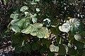 Florida Coccoloba uvifera Durante Community Park Longboat Key.jpg