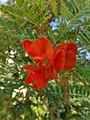 Flower of Sesbania punicea 02.jpg