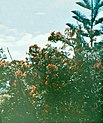 Flowering Plant with Tree Beyond, Probably in Madeira, by Sarah Angelina Acland, c.1910.jpg