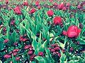 Flowers......Canberra, Australia.jpg